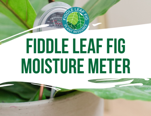 Fiddle Leaf Fig Moisture Meter: Water Your Fiddle Leaf Fig Correctly