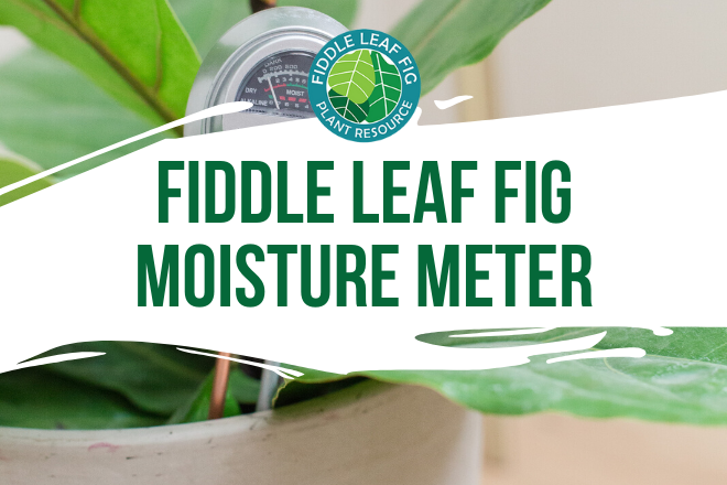 Water your fiddle leaf correctly by using a fiddle leaf fig moisture meter. Our fiddle leaf fig moisture meter can help take the guesswork out of watering.