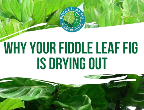 4 Sneaky Reasons Why Your Fiddle Leaf Fig Is Drying Out