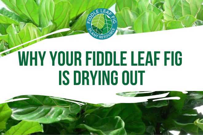 Do you suspect your fiddle leaf fig is drying out? Read about the 4 sneaky reasons why your fiddle leaf fig is drying out and how to correct it.