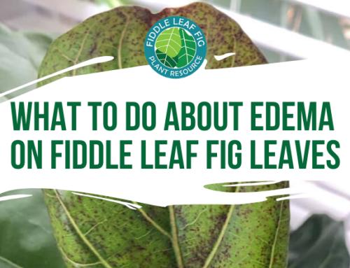 Edema on Fiddle Leaf Fig Leaves