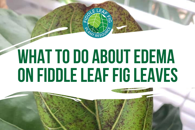 Edema on Fiddle Leaf Fig Leaves - Featured Image