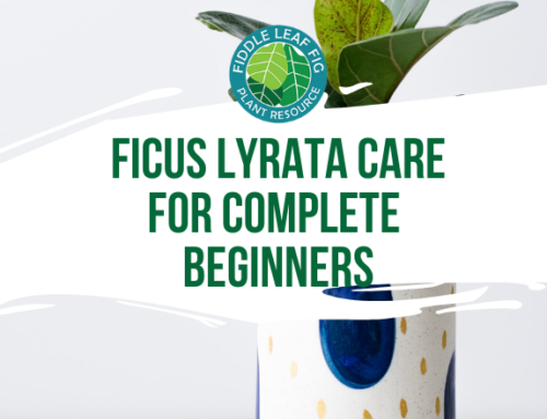 Ficus Lyrata Care for Complete Beginners