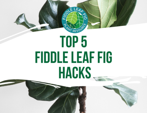 Our Top 5 Fiddle Leaf Fig Hacks