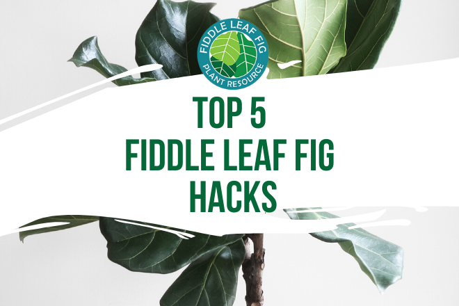 Growing a fiddle leaf fig does not have to be difficult. Discover these 5 fiddle leaf fig hacks for growing a healthy and happy fiddle leaf fig.