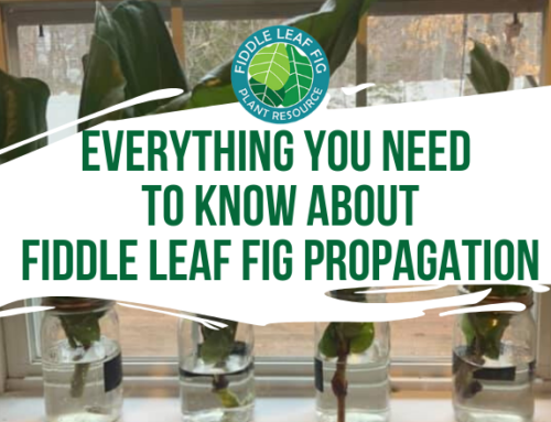 Everything You Need to Know About Fiddle Leaf Fig Propagation