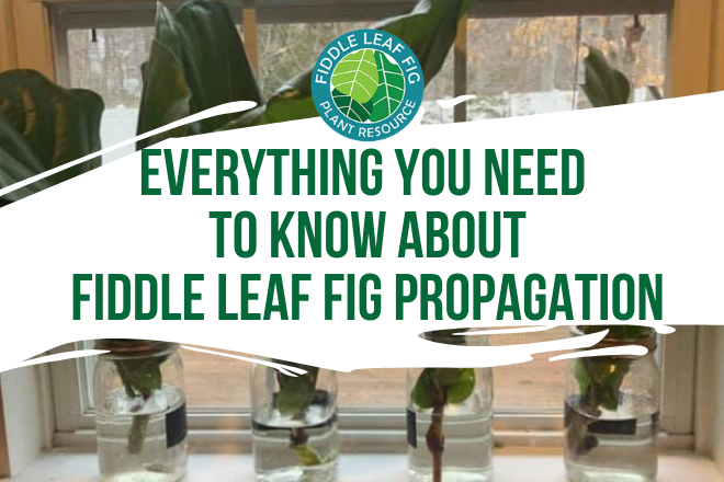 Everything You Need to know about Fiddle Leaf Fig Propagation Growing Fiddle Leaf Fig Plants from Stem Cuttings Are you ready to propagate your fiddle leaf fig? Maybe you have tried propagation before but for some reason, your cuttings never survive. Our in-depth video along with this post will help you master fiddle leaf fig propagation.  Propagation Basics Propagating your fiddle leaf fig is an easy and simple way to create new fiddle leaf fig plants. In a nutshell, propagation is the method of reproducing. In the wild, propagation happens when a plant loses a piece of itself, the cutting will then grow into a whole new plant. Because the process is relatively simple and fast, it is one of the easiest ways to grow new plants at home.  For the ficus lyrata, aka fiddle leaf fig, the process of buying seeds and planting them will not work. Propagation involves a plant that is grown from a cutting or a stem.  With some houseplants, propagation can be as simple as dividing the roots. Ferns can be propagated like this. With fiddle leaf figs, you need to start with a cutting from a plant.  Benefits of Propagation Propagating your fiddle leaf fig comes with many benefits.  Stem cuttings are the easiest and fastest way to propagate your plant Propagation is totally free! You will need to prune your plant anyway Roots will grow in around 8 weeks Only way to clone your prized plant  Easy to do at home and a great use of your time Display beautiful cuttings in glass vases or containers Propagation in Soil or Water?  Photo Credit: Leah Marie Fiddle Leaf Fig Plant Resource Facebook Group There are essentially two methods of propagating a cutting. One involves placing the cutting in water, the other would be to place the cutting straight into soil. Let's dive into these methods and discover the reason why propagation in water is the superiors way to propagate.  Using Water to Propagate The reason water is the best way to propagate is because it is easy, fast, and pretty to look at. You can actually see the roots growing so if you are curious about how long your roots are, you just have to look at the cutting. With water, there are no roots to damage from removing it from the soil. No plastic is required to keep the soil moist. It really is the easiest method of propagation.  Using Soil to Propagate When you use soil to propagate cuttings, the first and foremost thing you need is sterile soil. Most cuttings fail because of bacteria and infections which can be caused by fungus or bacteria in the soil. Also, the soil needs to stay wet and be kept moist. To do that, you need plastic to cover the cutting and soil. Another aspect that is harmful to the cutting is the roots can be damaged if you tug on the roots to see if they are growing properly. Finally, remove the cutting from the soil to repot can damage the roots that have formed as well. These factors decrease the likelihood of a successful propagation.  Air Layering Fiddle Leaf Figs Propagation by making a cut and putting something we around it is called air layering. The cutting is not fully removed from the plant and it continues to produce root all while it is still connected to the plant. You don't have as high of a risk of an unsuccessful propagation.  When To Propagate Your Fiddle Leaf Fig Most online resources will tell you to propagate in the spring or summer where there is a lot of light and it is warmer. In actuality, if the environment in your home is pretty even all year round, there is no reason why you can't propagate in the dead of winter.  Also, propagation and rooting is heavily dependent on heat. If you can keep your home warm or have the cutting under a heat mat, you can propagate any time of the year. Once you put it under your water or soil cuttings it keeps them at an even temperature to root even faster.  Supplies Needed for Fiddle Leaf Fig Propagation Here are the basic supplies you will need for a successful fiddle leaf fig propagation. Sharp pruning shears. Clean, clear container. Distilled water. Water softened water can be damaging to the cutting.  Propagation Promoter and Rooting Hormone to increase succes Also, your supplies will need to be sterilized. If you use a powder rooting hormone, make sure to pour some out for the cutting to be dipped into, versus dipping the cutting into the container. That could potentially spread bacteria within the rooting powder container which would be spread to other future cuttings.  To sterilize your tools and container, you can use your dishwasher or rubbing alcohol. Another option is to quickly soak them in a 10% bleach solution. Once you have sterilized everything, it is time to propagate.  How to Choose Where to Cut for Propagation When you are looking for a cutting to remove from your plant, remember to avoid new growth and old growth. You want a cutting from the medium section of your plant where the leaves and stem are not too young and not too old.  Also, never cut just a single leaf. The leaf does not have the stem where there are no rooting cells to grow roots and develop into a plant. With the stem cutting, it is best to cut 1-3 healthy leaves with the stem to create a healthy section to propagate.  As you use your sharp, sterile shears, cut on a diagonal to give you as much surface area as possible. The more surface area, the higher the probability strong roots will grow.  As you cut, you may notice a white sap that appears. The sap is not poisonous however, it can cause irritation if you get it on your skin. Placing a tarp down can protect your floors and wearing gloves will protect your hands.  Propagation Next Steps  Once you have your cutting, it is time to place it into a sterilized container with clean water. Add your propagation promoter and rooting hormone to the water and place it in a place with light, but not direct light. Place in a place with light but not direct light. Direct sunlight will cause the water to become cloudy which increases the risk that bacteria and fungus will grow in the water, killing the cutting.  Keep the water clean and only replace when it is cloudy. Do not replace it everyday. It is best to leave the cutting be as long as you can. Propagation Promoter and Rooting Hormone With our propagation promoter and rooting hormone, you will use 1 teaspoon for every 2 cups of water for your water propagation. Our propagation promoter and rooting hormone is derived naturally from sea kelp and it tells the plant to use its energy to product roots. What is great about it is that the gel settles around the cutting and keeps it clean. You will be able to see this in the water.  Protecting and promoting the roots will results in a higher number or roots and they will develop faster and stronger. It also protects them against any bacteria and fungus. The reason we developed a liquid rooting hormone is that is absorbs better than powder and it works in water and soil propagation.  How Long Does Fiddle Leaf Fig Propagation Take?  Photo Credit: Mayuri Kai from Fiddle Leaf Fig Plant Resource Center Facebook Group In most cases, fiddle leaf fig propagation can take 6-8 weeks. After 4 weeks, you should start to see spots that look similar to popcorn developing on your cutting. These are the beginning of the roots forming.  Roots should be between 1-2 inches and you will want a lot of new roots around that length. Once you remove your cutting from the water, pot it into a small container that is 2-4 inches in diameter. Use a fast draining soil and keep it moist.  Adding a bottom heat mat can help to keep the new cutting growing and begin fertilizing after 2 weeks time. Once the cutting is root bound, increase your pot by 2-4 inches and you have a brand new plant! Do you have more propagation questions? Join our Facebook community to share your pictures, ask questions, and connect with other fiddle leaf fig lovers!