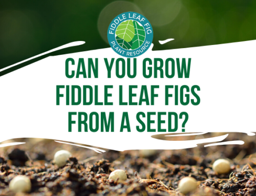 Can You Grow a Fiddle Leaf Fig From Seeds?