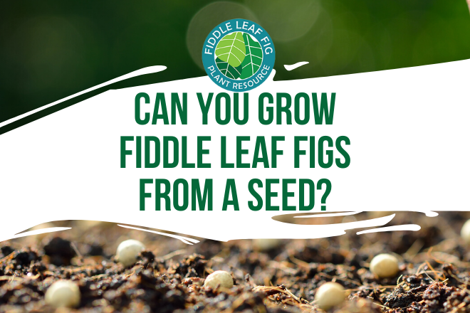 Have you ever wondered if you can grow a fiddle leaf fig from seeds? Watch the video and read how fiddle leaf figs are grown for distribution in the US.