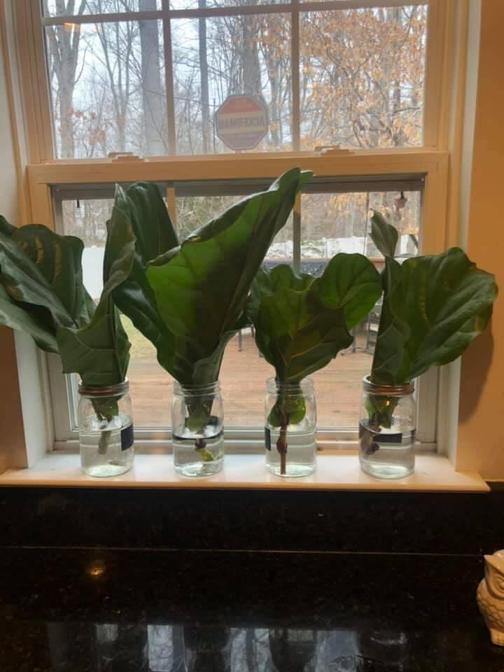 Leah Marie Fiddle Leaf Fig Plant Resource