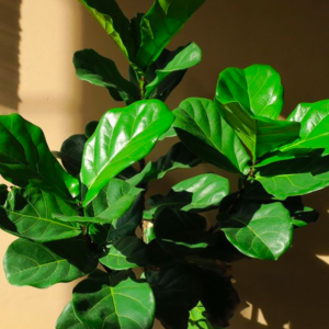 Read the ultimate ficus lyrata care guide for complete beginners. If you are new to having a fiddle leaf fig, read this care guide.