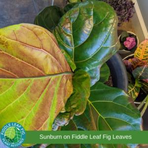 Sunburn on fiddle leaf fig leaves. Edema on fiddle leaf fig leaves.