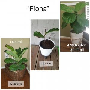 Fiddle Leaf Fig Before and After Photos
