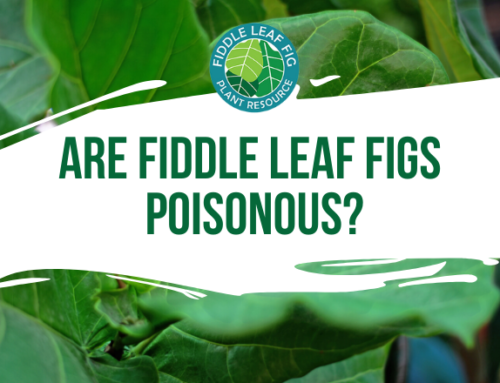 Are Fiddle Leaf Figs Poisonous to Dogs, Cats, and Children?