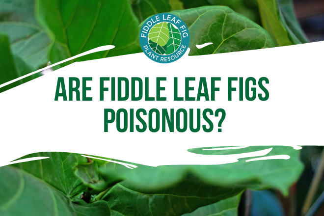 Are fiddle leaf figs poisonous to dogs, cats, and children? Discover how toxicity is measured and which class of toxicity the fiddle leaf fig falls under.