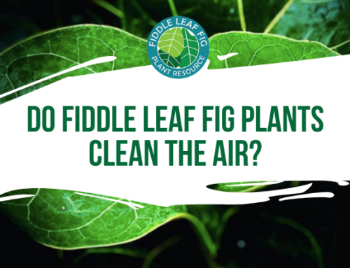 Do Fiddle Leaf Fig Plants Clean the Air?