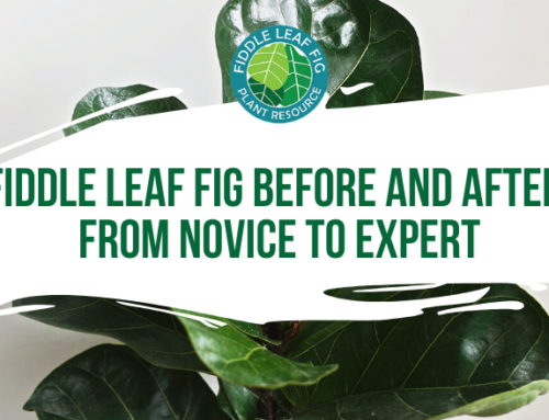 Fiddle Leaf Fig Before And After Photos: How Angela Went from Novice to Expert