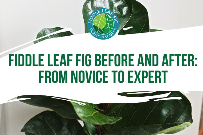 Get inspired by this amazing recovery story and fiddle leaf fig before and after photos from our Facebook group member, Angela!