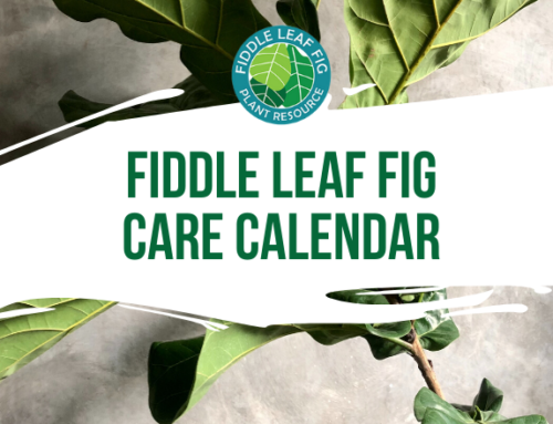 Fiddle Leaf Fig Care Calendar