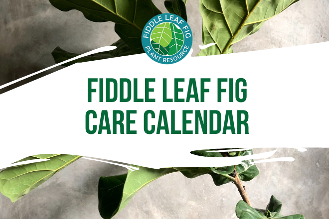 Looking for a master care calendar for your fiddle leaf fig? Follow our fiddle leaf fig care calendar and learn when to water, when to repot, and more!