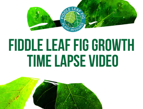 Fiddle Leaf Fig Growth Time Lapse Video