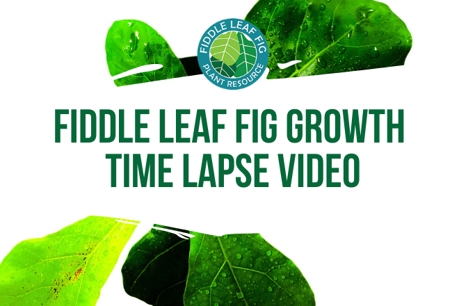 Curious how fiddle leaf fig growth looks? Watch the fiddle leaf fig growth time lapse video to see new fiddle leaf fig leaves grow over a week's time.