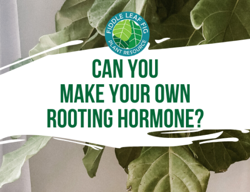 Can You Make Your Own Fiddle Leaf Fig Rooting Hormone?