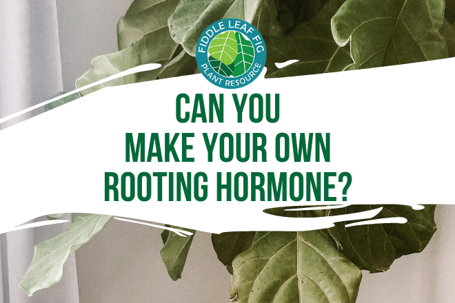 Are you wondering if you can make your own rooting hormone? Discover which rooting hormone is best to propagate your indoor houseplants and fiddle leaf fig.