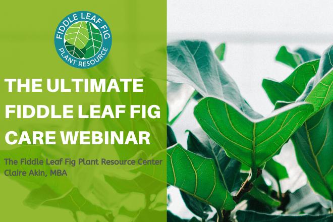 The Ultimate Fiddle Leaf Fig Care Webinar