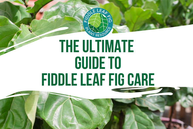 The Ultimate Guide to Fiddle Leaf Fig Care