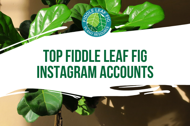 Follow these Instagram accounts for the best fiddle leaf fig photos and tips. These top fiddle leaf fig instagram accounts are the best around.