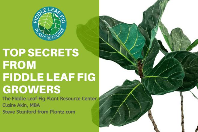 Top Secrets from Fiddle Leaf FIg Growers Webinar
