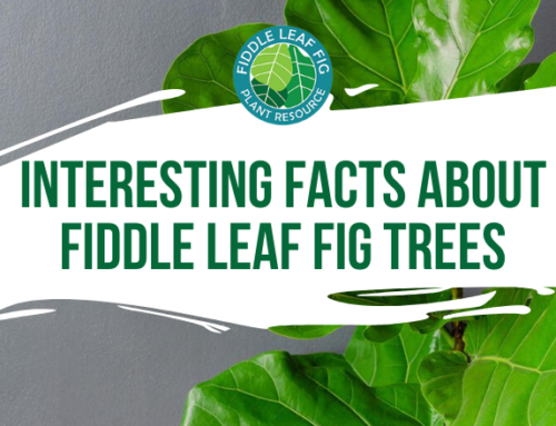 Interesting Facts About Fiddle Leaf Fig Trees