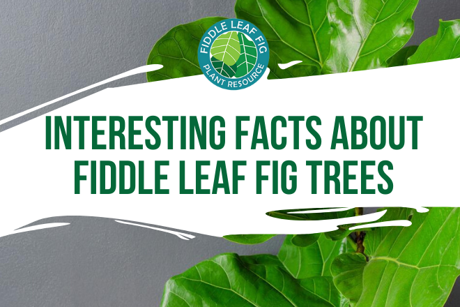 Discover 15 interesting facts about fiddle leaf fig trees from Tony Manhart, the founder and editor in chief at Gardening Dream.