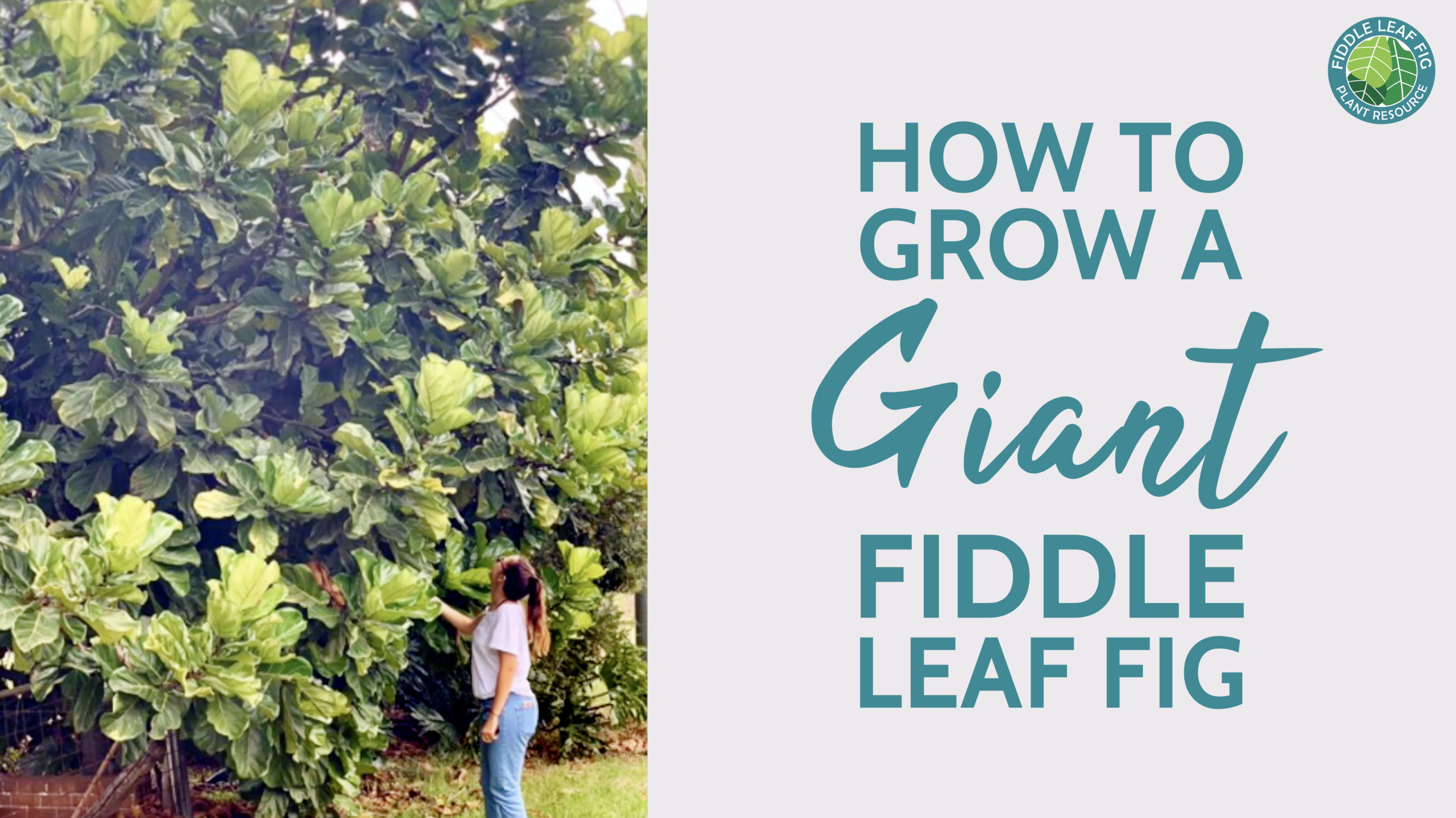 Do you want to grow a giant fiddle leaf fig, but are not sure how? Learn the steps to grow a large, tall, and lush fiddle leaf fig.